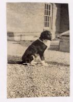Photograph of Dog 33 in profile on the roof of the Medical Building ca. 11/1921