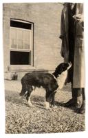 Photograph of Dog 33 standing on the roof of the Medical Building ca. 11/1921