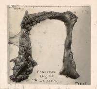 Photograph of pancreas of dog 28